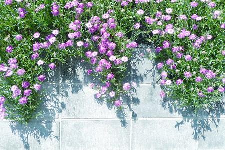 塀に咲く花