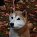 大阪城公園柴犬オフ会 20121123