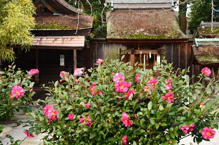 宗像神社の山茶花