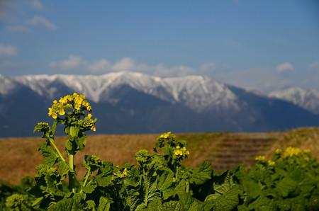 寒咲きハナナと比良山