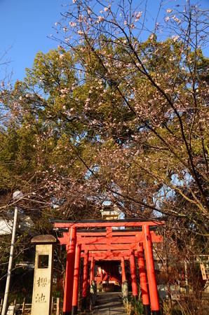 鳥居と十月桜