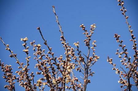 咲き始めた唐見桜