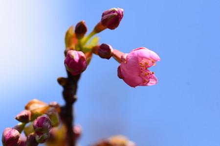 開き始めた河津桜(カワヅザクラ)