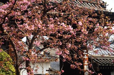 三十三間堂の河津桜(カワヅザクラ)