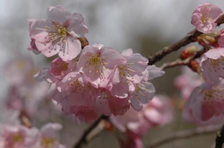 唐実桜×染井吉野