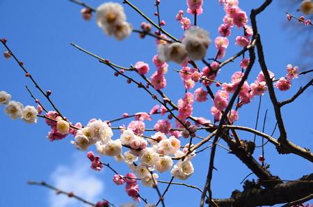 源平咲き分けの梅