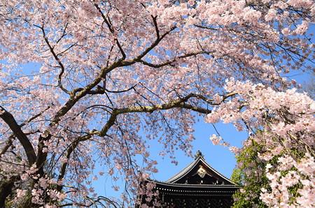 桜の中の三門