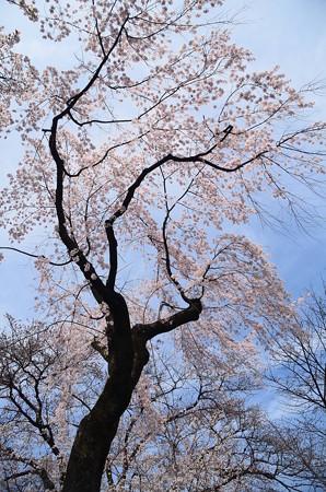 祇園御祖(ギオンミオヤ)
