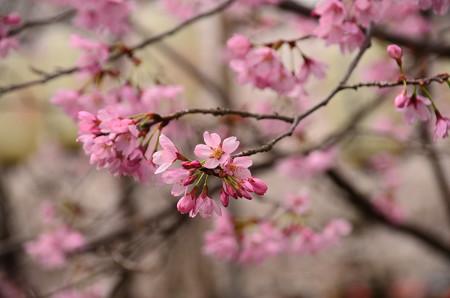 雅桜(ミヤビザクラ)