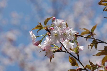 夙川舞桜(シュクガワマイザクラ)