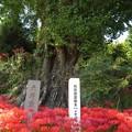 Photos: 内成銀杏7701