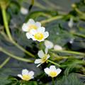 Photos: 梅花藻1