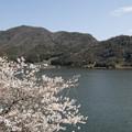 水月湖の桜2