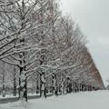 高島市 メタセコイア並木 冬 2月#1