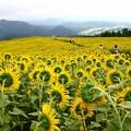 写真: 雨上がりのひまわり畑