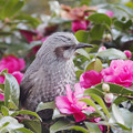 BORG で撮った野鳥類-7