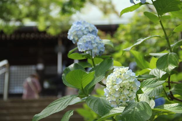 写真: 千葉のアジサイ寺