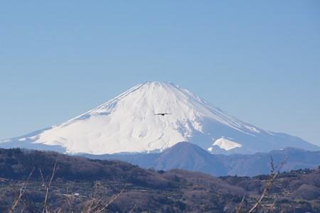 雪化粧の富士山とトビ