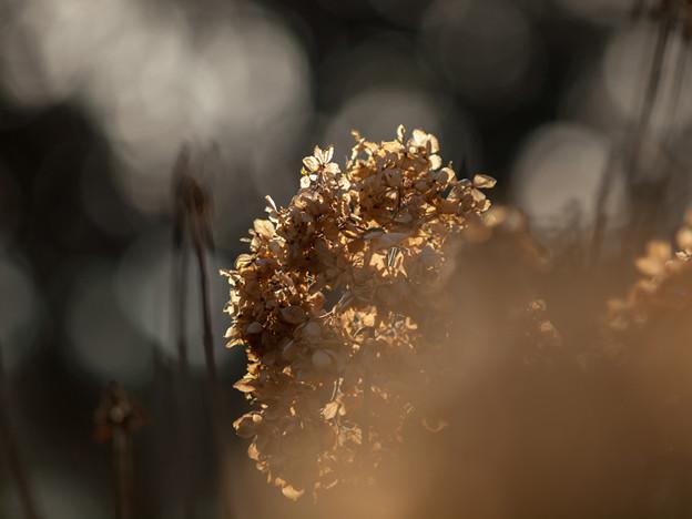 冬の紫陽花(2)