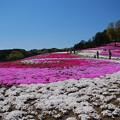 Photos: みさと芝桜4