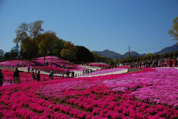 Photos: みさと芝桜69
