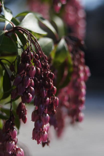 Photos: 紫の鈴なり