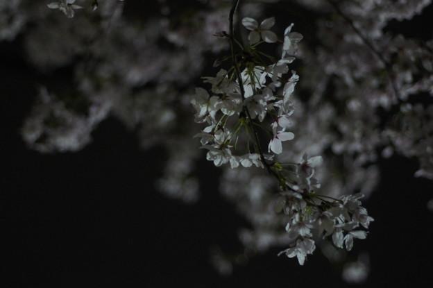 Photos: 静かに夜桜を