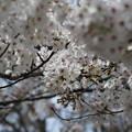 Photos: 桜の屋根