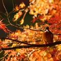 カワちゃん紅葉狩り
