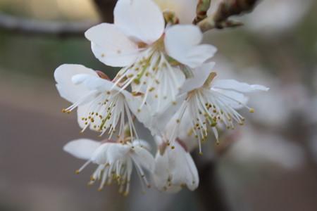暖地桜桃 (3)