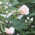Photos: 918 フェリシア (2)