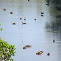 Photos: マングローブ鴨