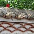 Photos: 塀にハイビスカス