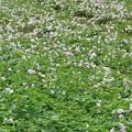 写真: 紅イモ畑