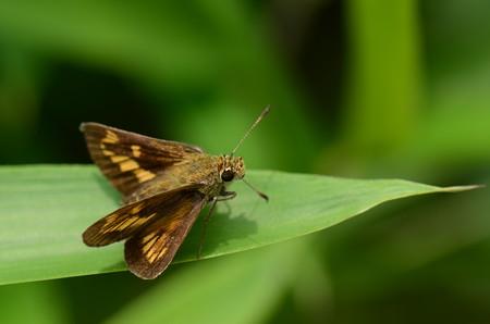 セセリチョウ科 ヒメキマダラセセリ♀