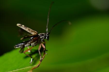 カミキリムシ科 ニセシラホシカミキリ♂