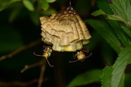 スズメバチ科 キボシアシナガバチ♂