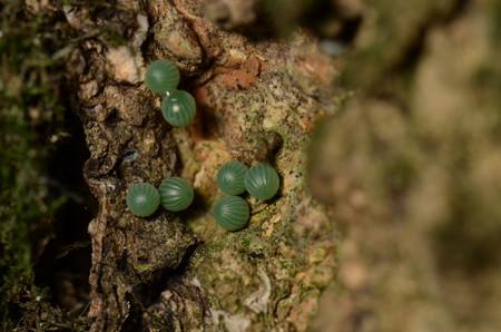 タテハチョウ科 オオムラサキ卵