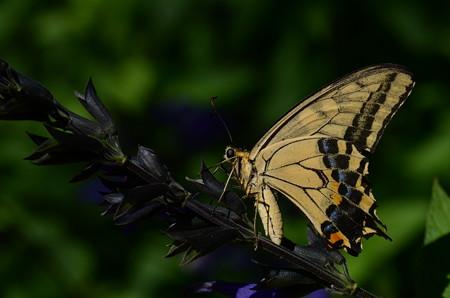 アゲハチョウ科 キアゲハ♂