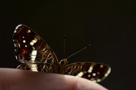 タテハチョウ科 サカハチチョウ♀