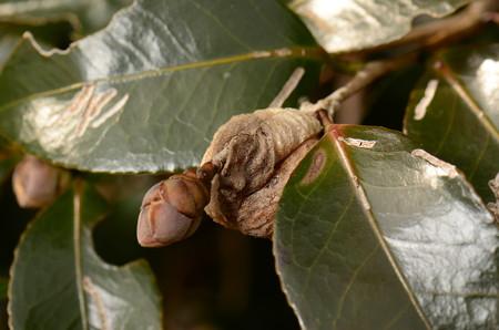 カマキリ科 オオカマキリ卵