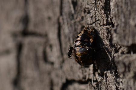 テントウムシ科 ナミテントウ蛹