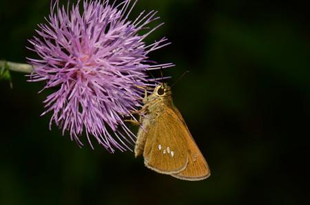 セセリチョウ科 オオチャバネセセリ♀