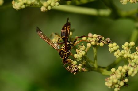 スズメバチ科 ヤマトアシナガバチ♂