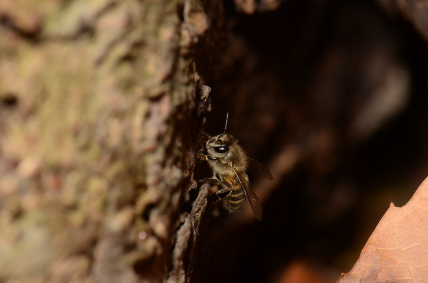 写真: ミツバチ科 ニホンミツバチ♀