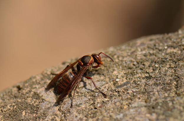 スズメバチ科 キボシアシナガバチ♀