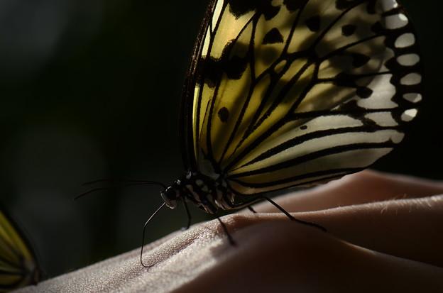 タテハチョウ科 オオゴマダラ