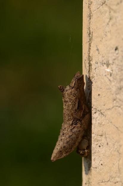 アゲハチョウ科 ナミアゲハ蛹