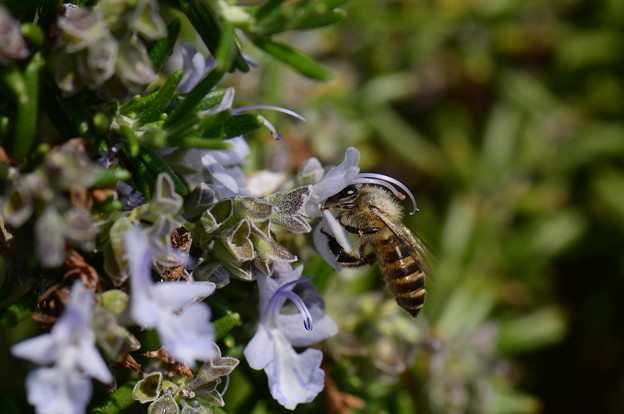 ミツバチ科 ニホンミツバチ♀
