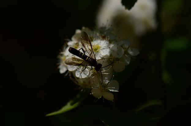 ハバチの仲間
